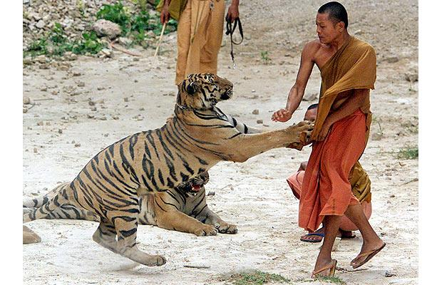 Thailand's Tiger Temple: Why we're not going | TAKING TO ...